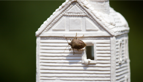 Stink Bugs every where